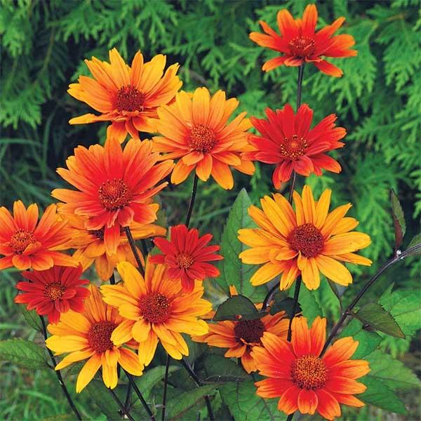 Heliopsis Bleeding Hearts Oxeye Sunflower