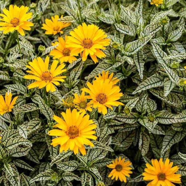Heliopsis Sunstruck Perennial Sunflower
