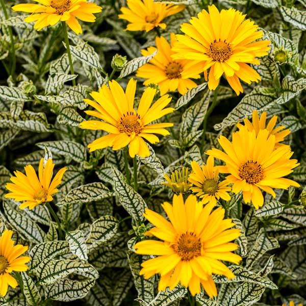 Heliopsis-Sunstruck-Perennial-Sunflower