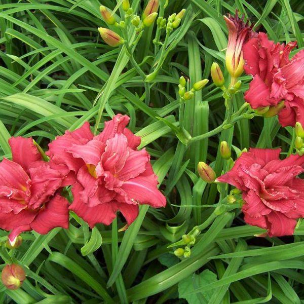 Hemerocallis Double Pardon Me Repeat Blooming Daylily