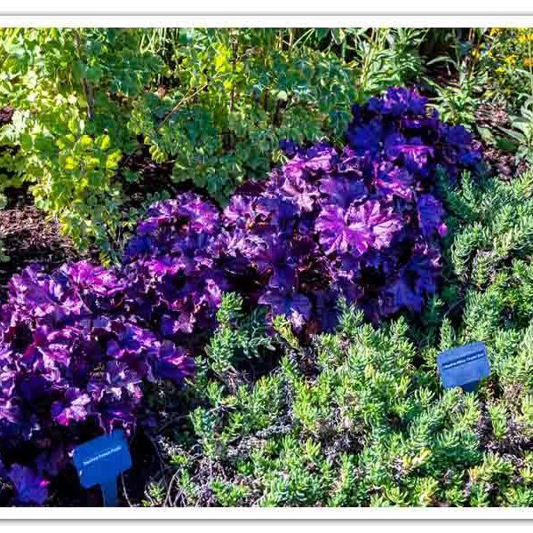 Heuchera Forever Purple, Coral Bell