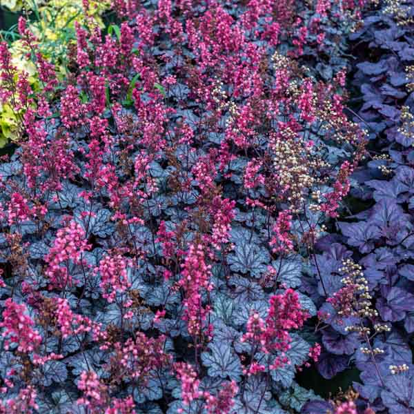 Heuchera Timeless Treasure Coral Bell