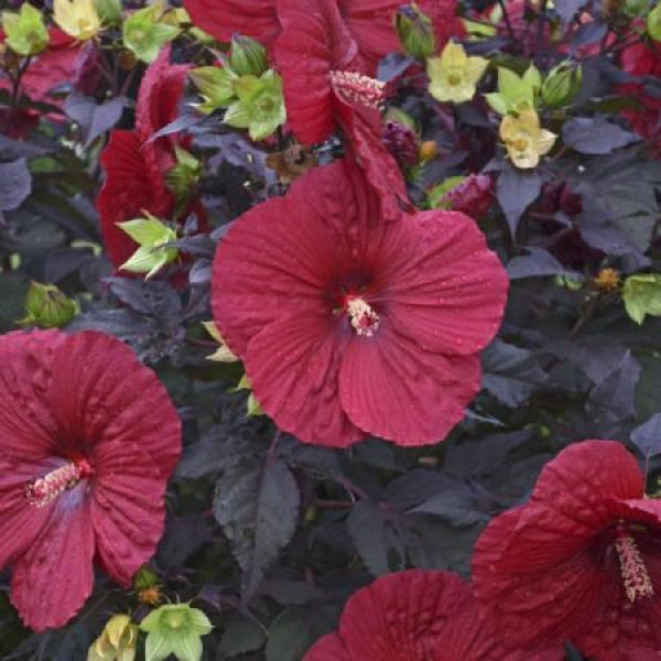 Hibiscus Holy Grail Rose Mallow