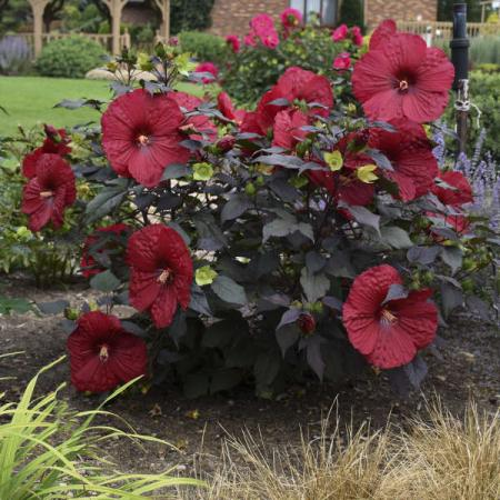 Hibiscus Holy Grail