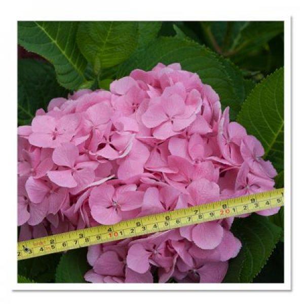 Hydrangea macrophylla Big Easy, Bigleaf Hydrangea