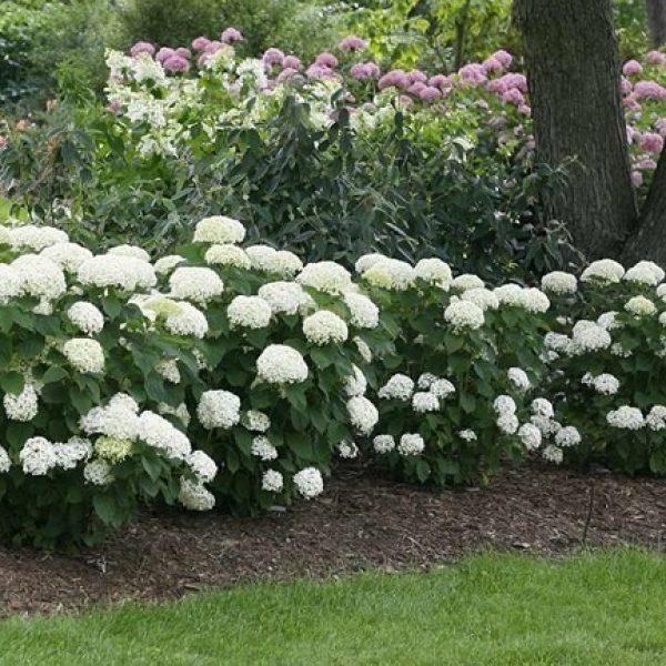Hydrangea Limetta, Smooth Hydrangea