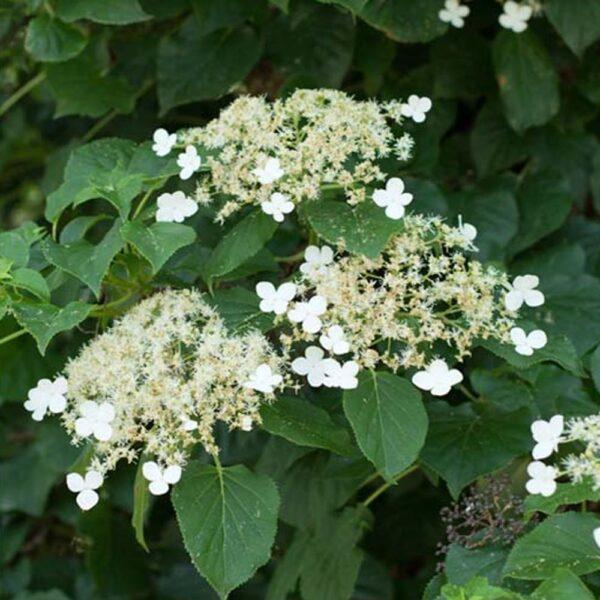 Hydrangea anomala petiolaris Climbing Hydrangea Vine