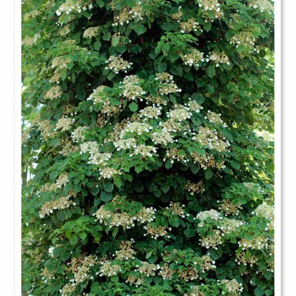 Hydrangea anomala petiolaris, Climbing Hydrangea