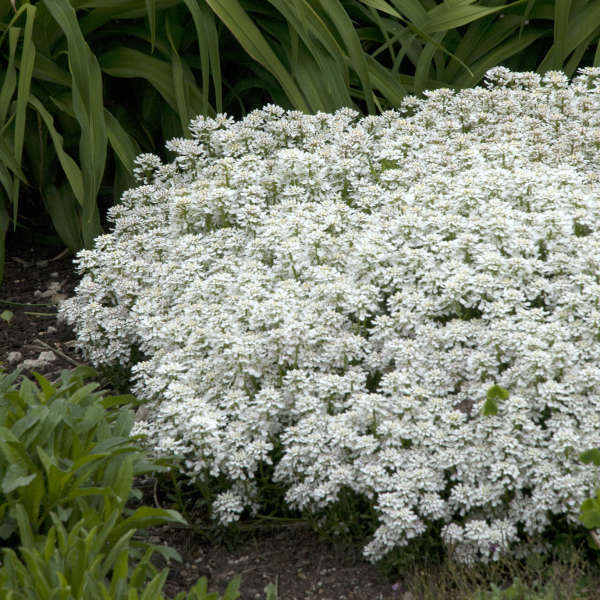 Candytuft Snowflake