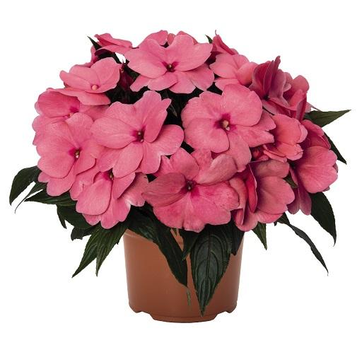 Impatens Magnum Pink