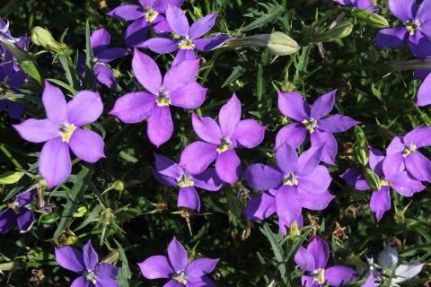 Star Flower Violet Glow