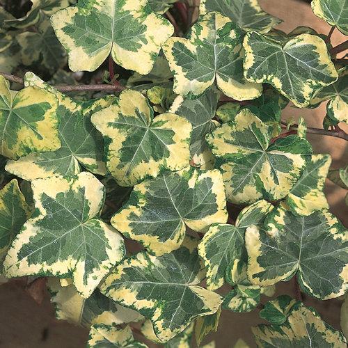 Ivy Golden Ingot