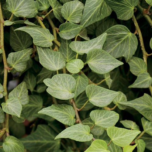 Ivy Teardrop