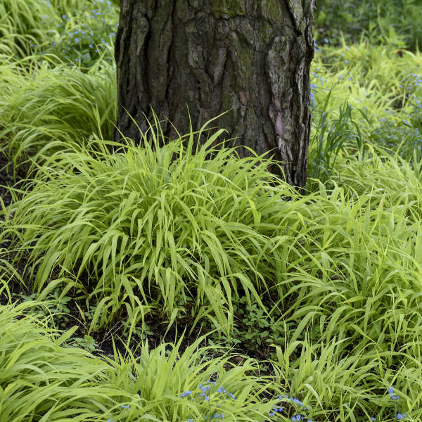 Japanese Forest Grass All Gold
