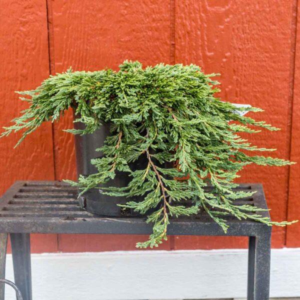 Juniperus Pancake Juniper