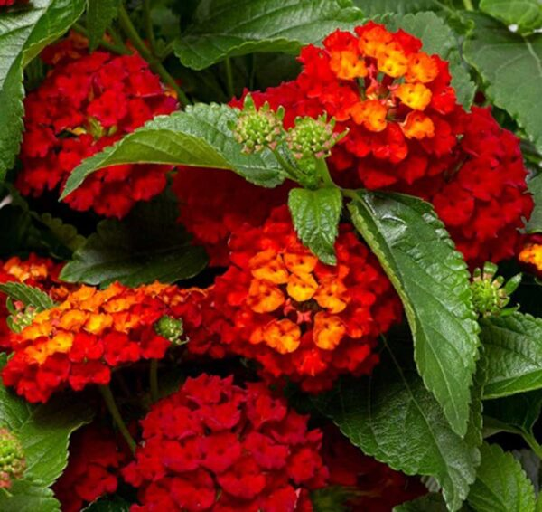 Lantana-Hot-Blooded-Red