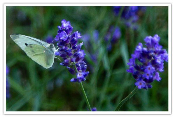 Lavender-Big-Time-Blue