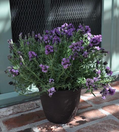 Lavender Madrid Lavish Purple