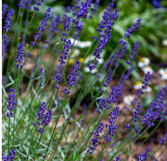 Lavender-Super-Blue