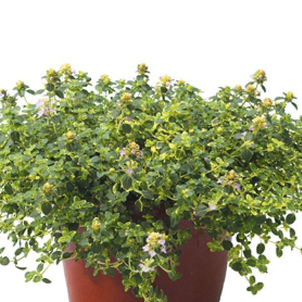 Lemon Thyme Herb - Organic