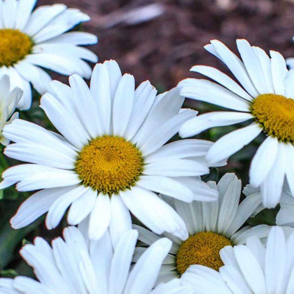 Leucanthemum Betsy, Shasta Daisy