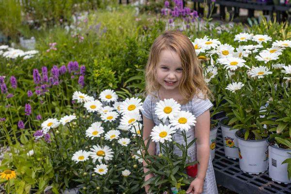 Leucanthemum Betsy Shasta Daisy largest flower of all