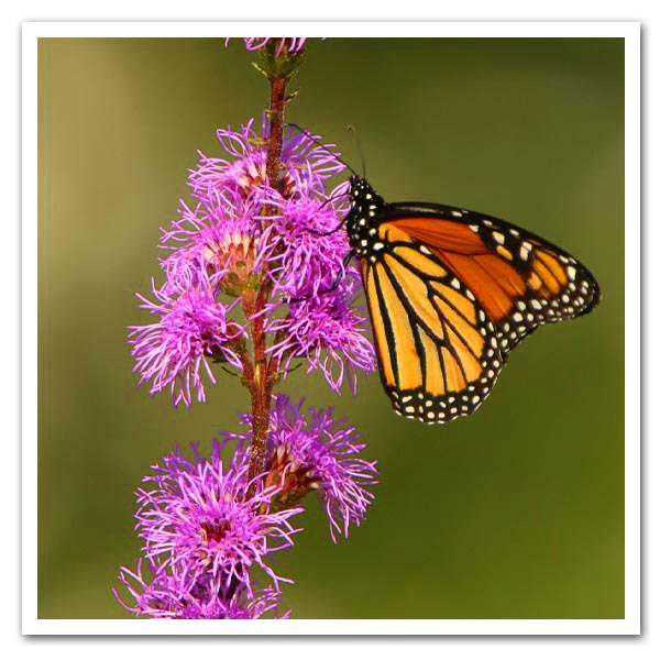 Liatris-ligulistylis-Meadow-Blazing-Star