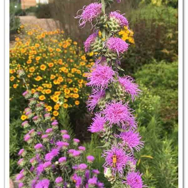 Liatris ligulistylis Meadow Blazing Star