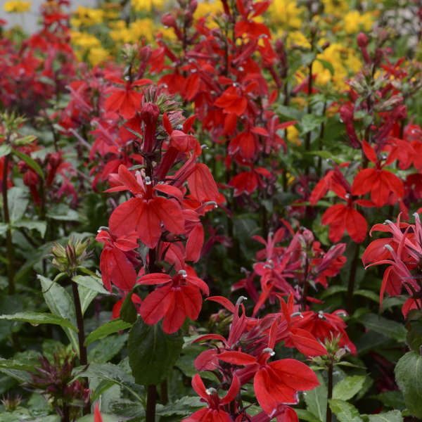 Lobelia Starship Scarlet Cardinal Flower