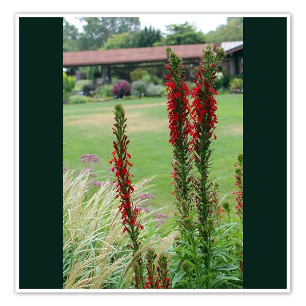 Lobelia cardinalis Cardinal Flower
