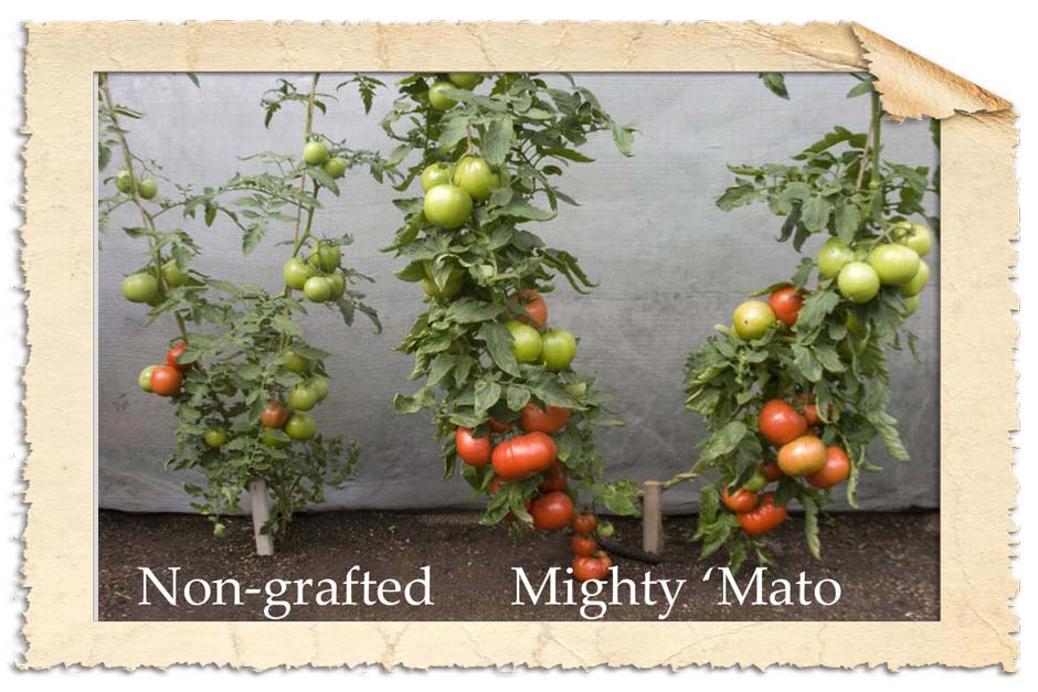 Mighty-matos-grafted-vs-non-grated