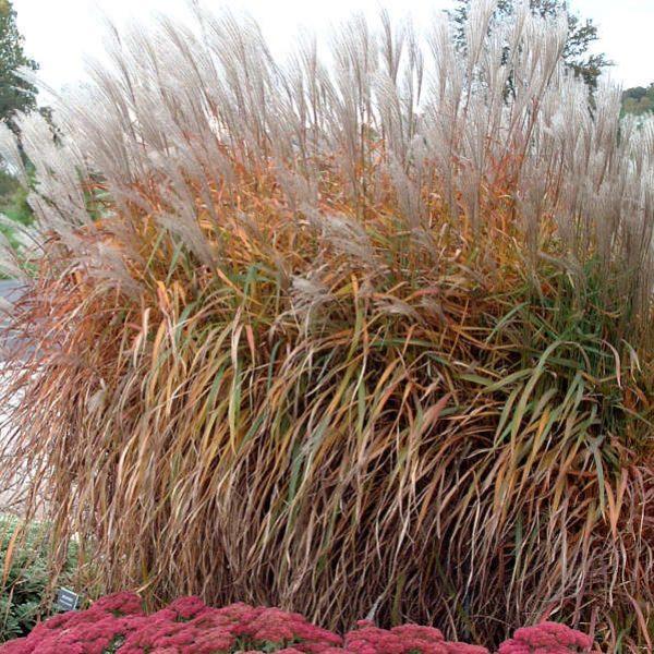 Miscanthus Purpurascens Flame Grass