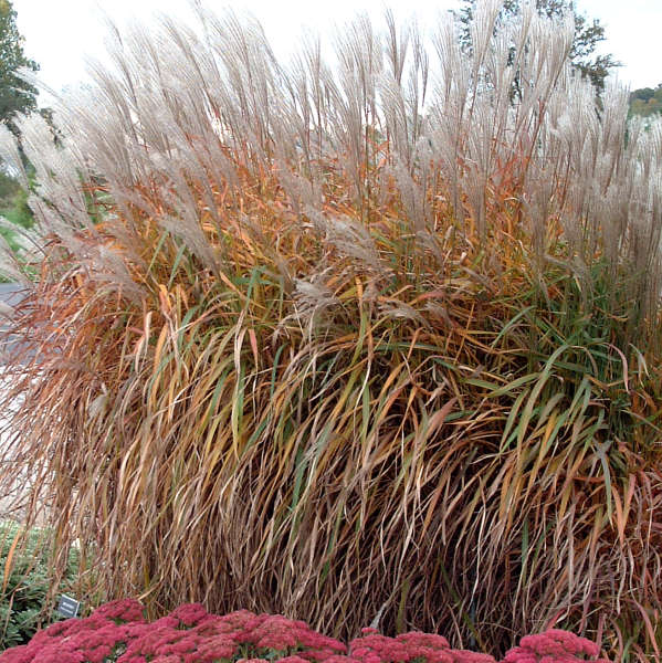 Miscanthus purpurescens Flame Grass