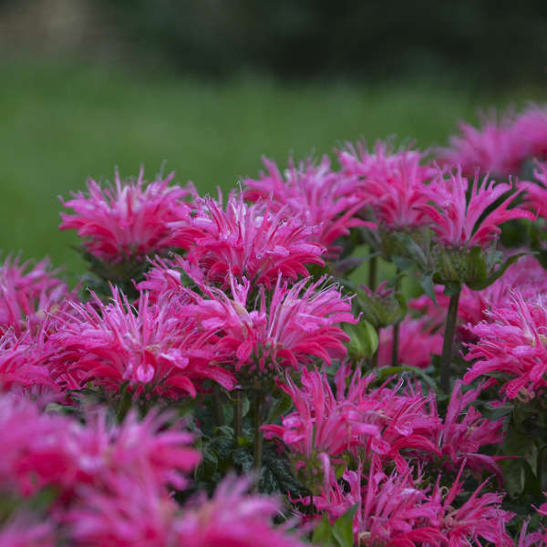 Monarda Electric Neon Pink, Bee Balm
