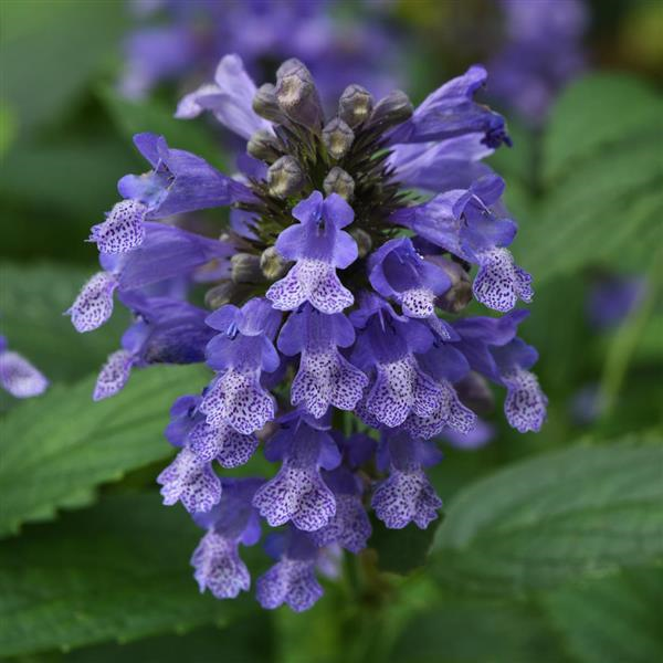 Nepeta Blue Prelude Catmint