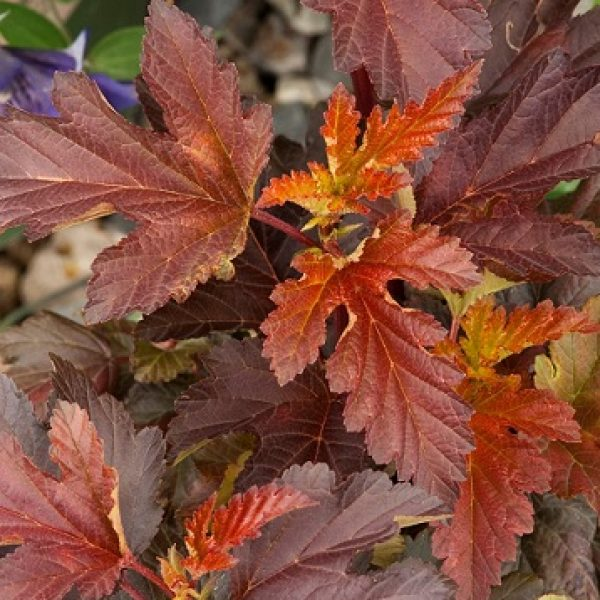 Physocarpus Center Glow, Ninebark