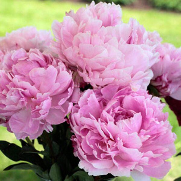 Paeonia Sarah Bernhardt Peony