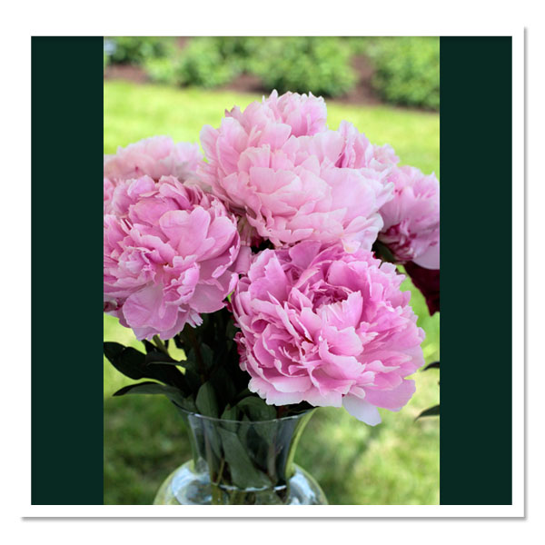Paeonia Sarah Bernhardt Peony – Fresh Dug Roots for Fall Planting Preorder