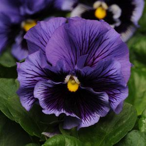 Frilly Pansy Blue with Face