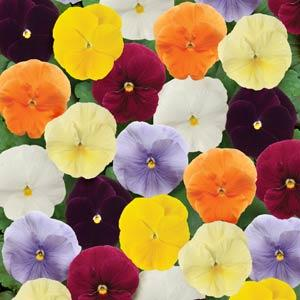 Pansy Assorted Colors