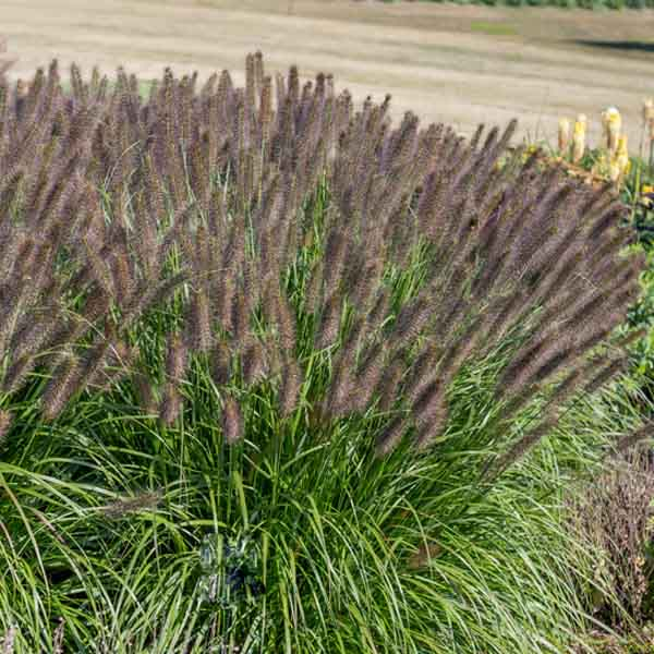 Pennisetum-Puppy-Love-Fountain-Grass-field