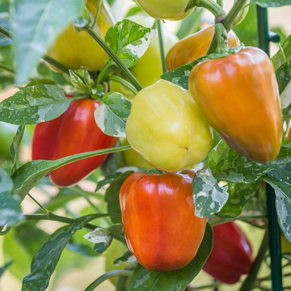 Sweet Pepper Mini Bell - Organic