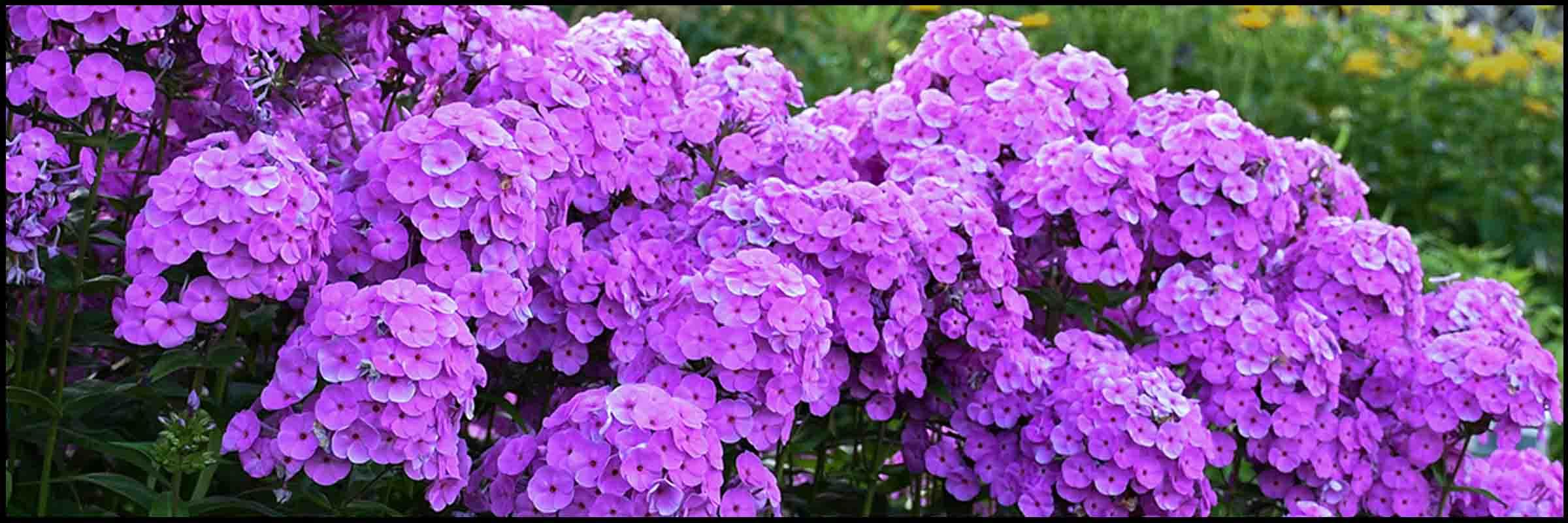 Perennials for sale online st louis missouri