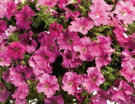 Petunia Supertunia Giant Pink