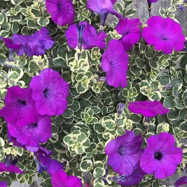 Petunia-Glamouflage-Grape