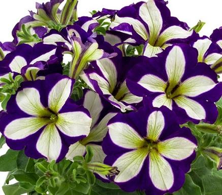 Petunia Lucky Lilac