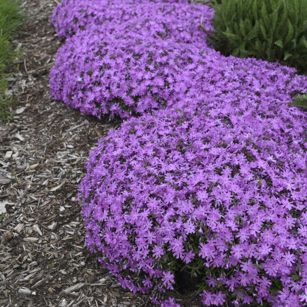 Phlox Bedazzled Pink landscape