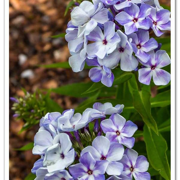 Phlox Blue Flame