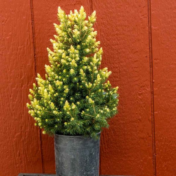 After 10 years of growth a mature specimen will measure 3 feet (1 m) tall and 2 feet (60 cm) wide, an annual growth rate of 3 to 4 inches.