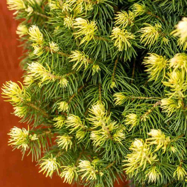 Picea Rainbows End Dwarf Alberta Spruce foliage